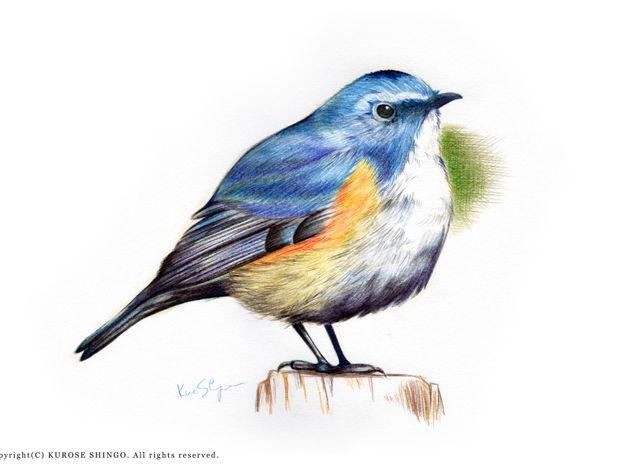 色鉛筆画 -鳥-