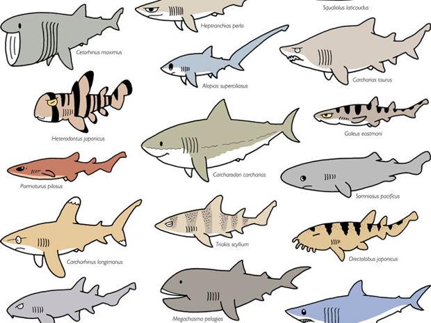 サメ30種(カラー)