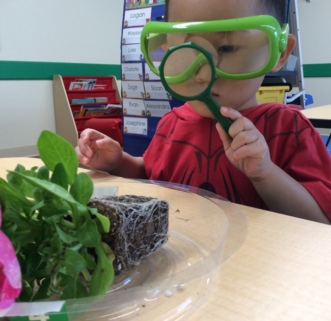 Little toddler looks at the roots of a plant through a magnifying glass in a Primrose classroom