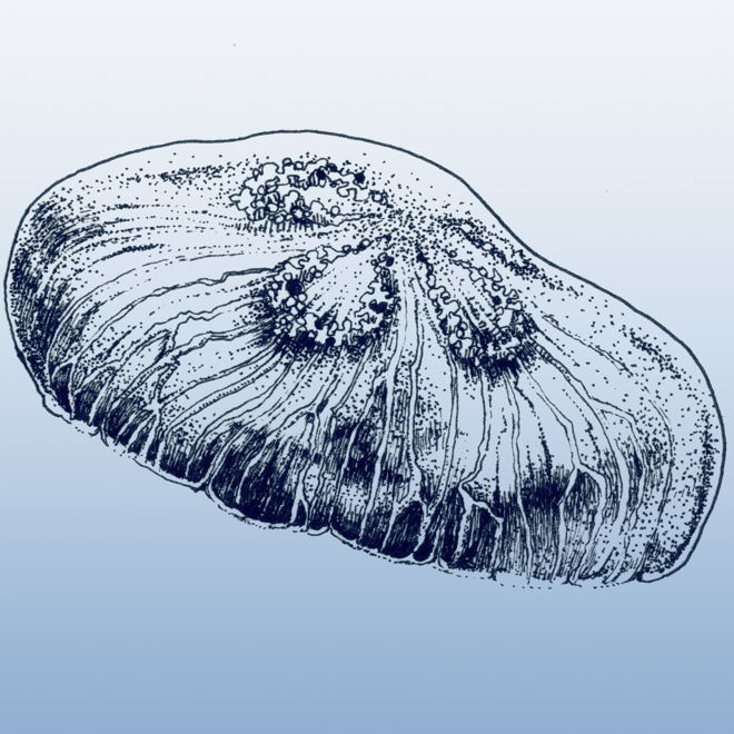 Moon jelly B